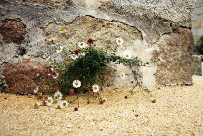 daisies growing in a wall