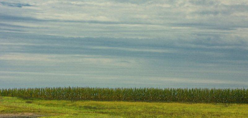 cornfield, Sound Ave.