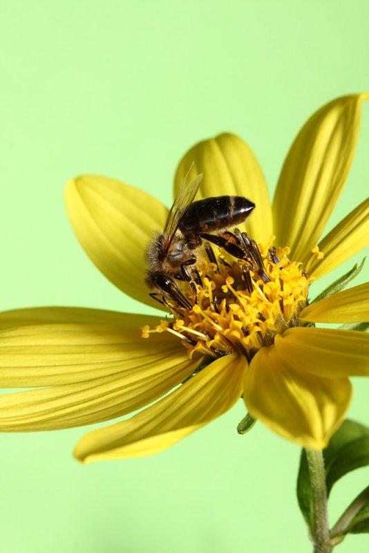 BEE AND FLOWER IMG_3469ok.jpg