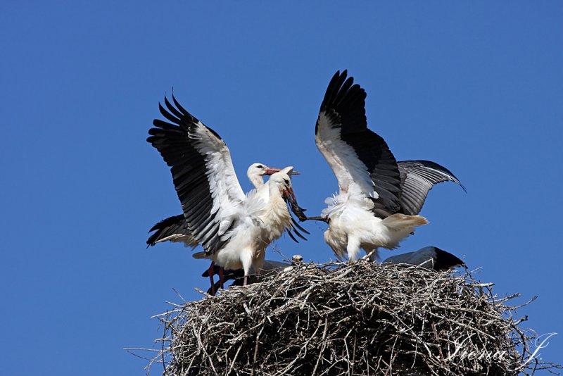 Stork nest (s61 ok.jpg)