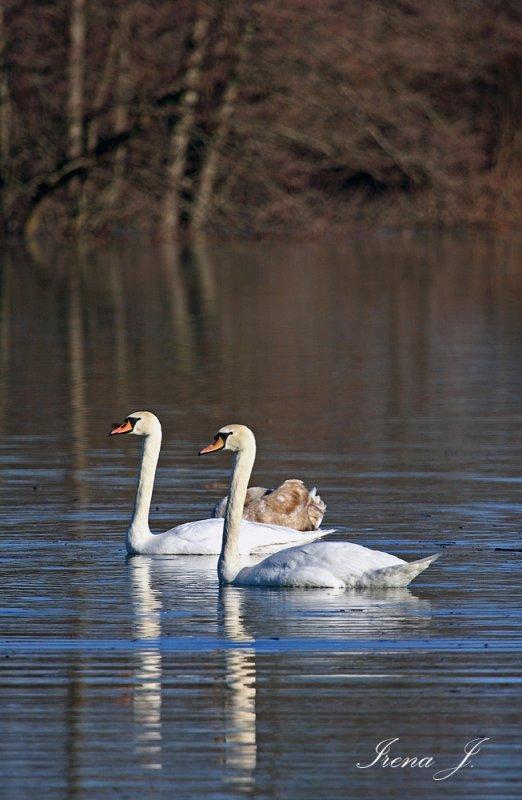 Swans - Planinsko polje (IMG_5136ok copy.jpg)