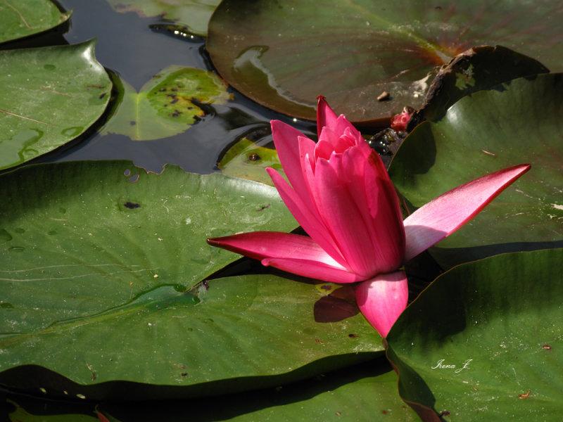 Nymphaea lotus - water lily - lokvanj (IMG_3253 copy.jpg)