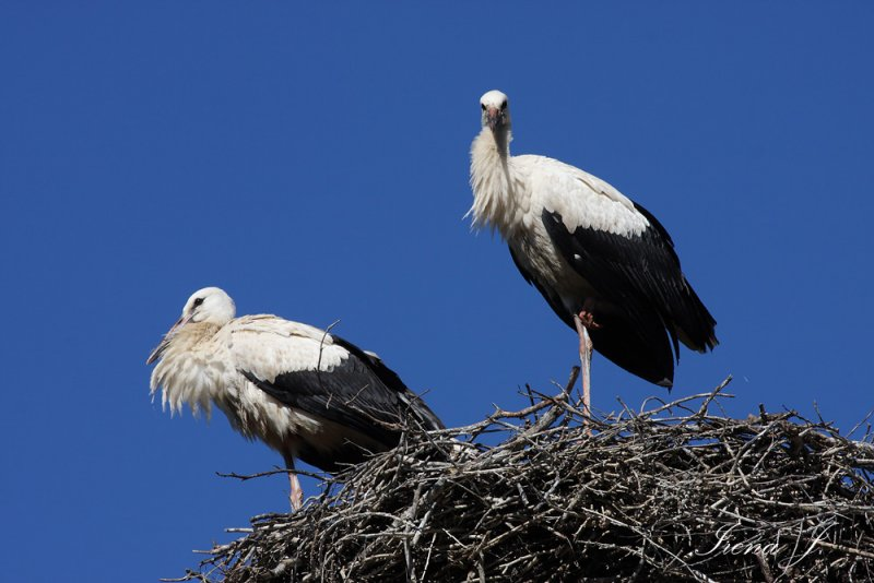 Stork nest (strki9 copy.jpg)