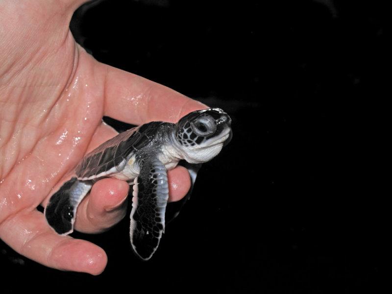 Young turtle - ¾elva (IMG_6979.jpg)