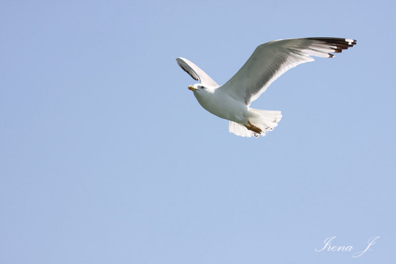 Larus occidentalis - western gull - galeb (IMG_5603ok.jpg)