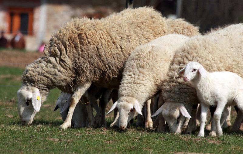Flock of sheep - ovèja creda3 ok.jpg