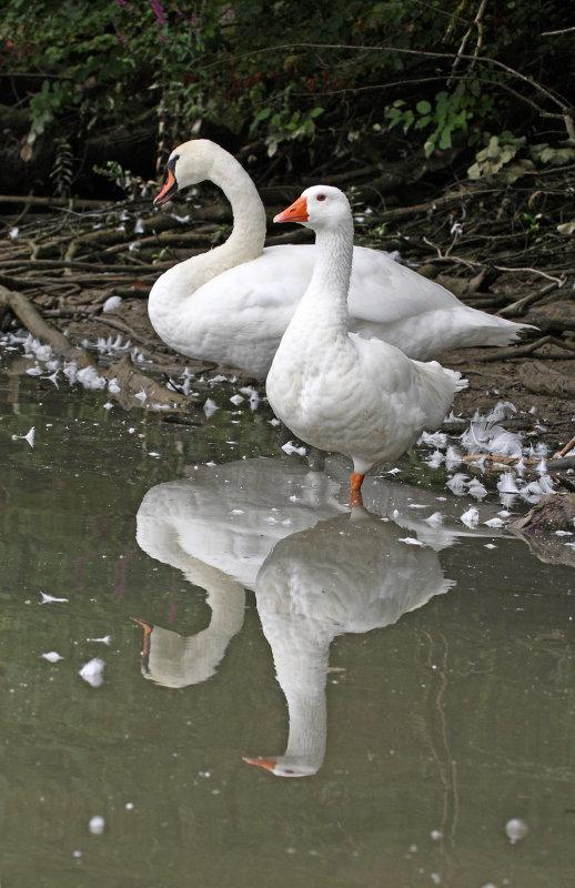 Cygnus olor - swan and white goose - labod grbec in bela gos (IMG_0526ok.jpg)