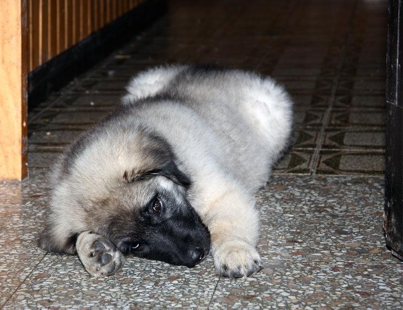 Young shepherd dog (IMG_1453ok.jpg)