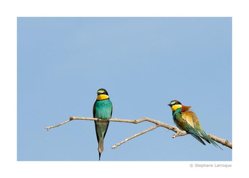 Guepiers dEurope - European Bee-eater