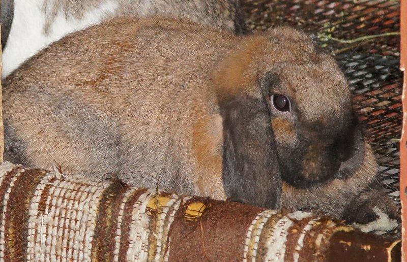Priscilla the House Bunny
