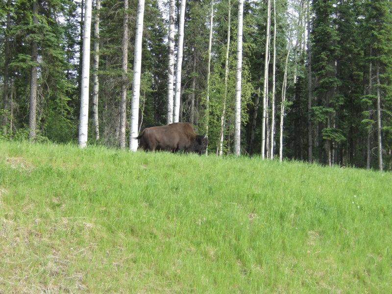 Bison Along the Alaska Hwy