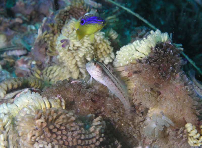 blenny and damselfish