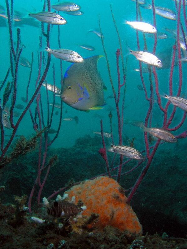 RB Blue Angelfish.jpg