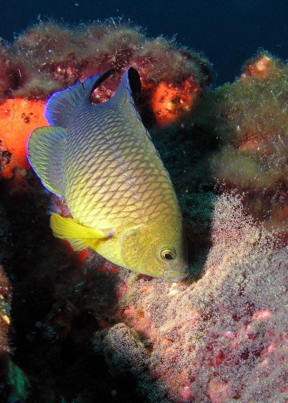 Cocoa Damselfish, nesting
