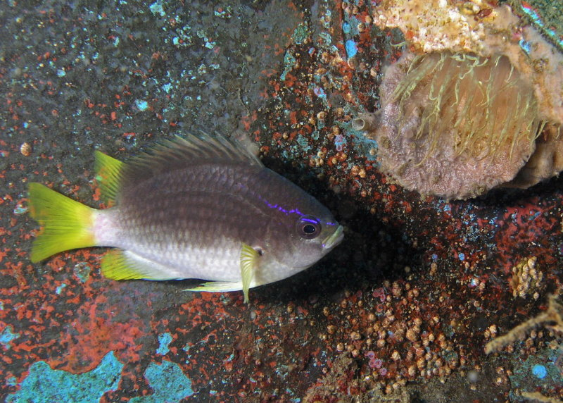 Yellowtail Reeffish adult
