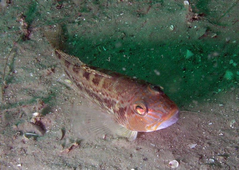 Bank Sea Bass