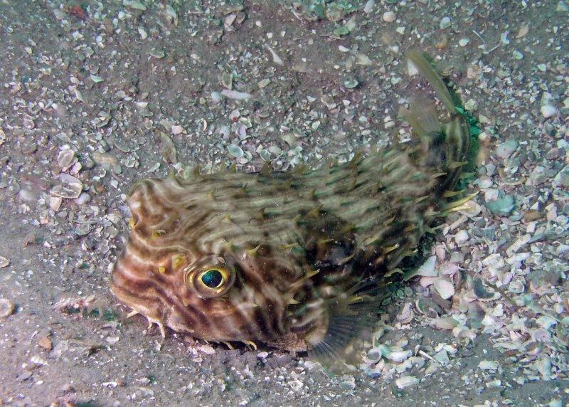 Striped Burrfish