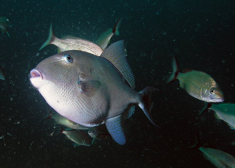 Triggerfish and tomtates