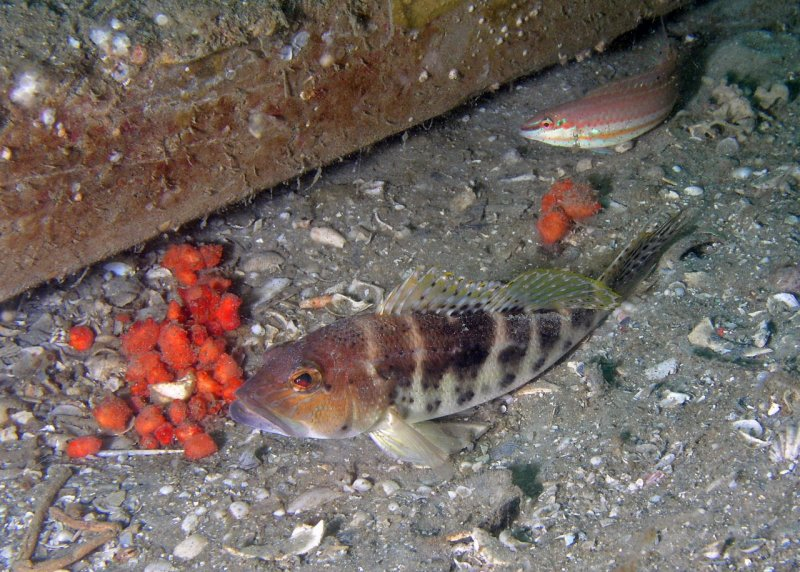 Bank Sea Bass and Slippery Dick