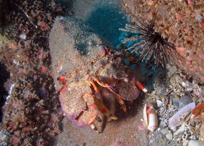 Shovelnose lobster
