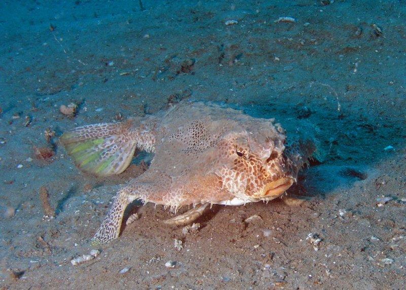 Polka-dot batfish