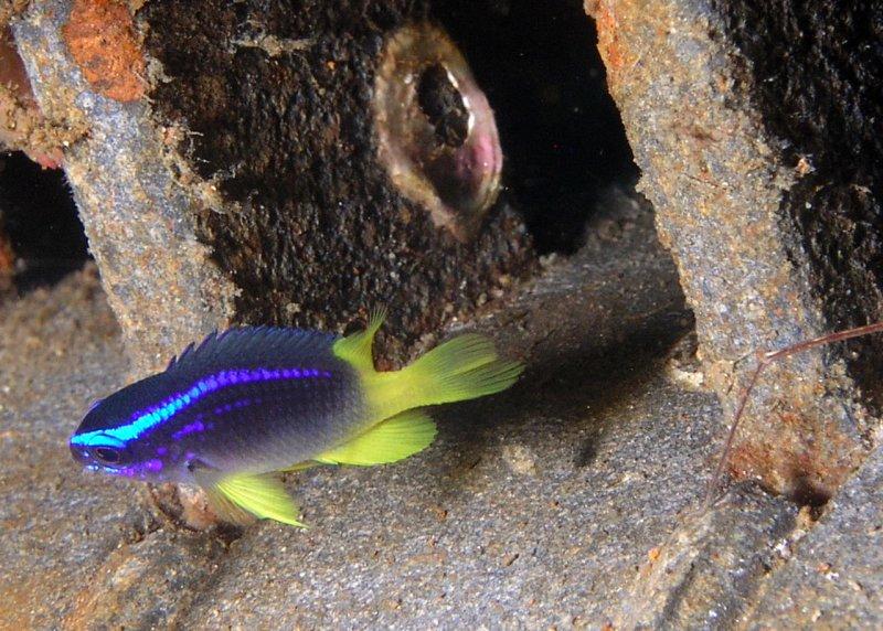 Yellowtail Reeffish juv