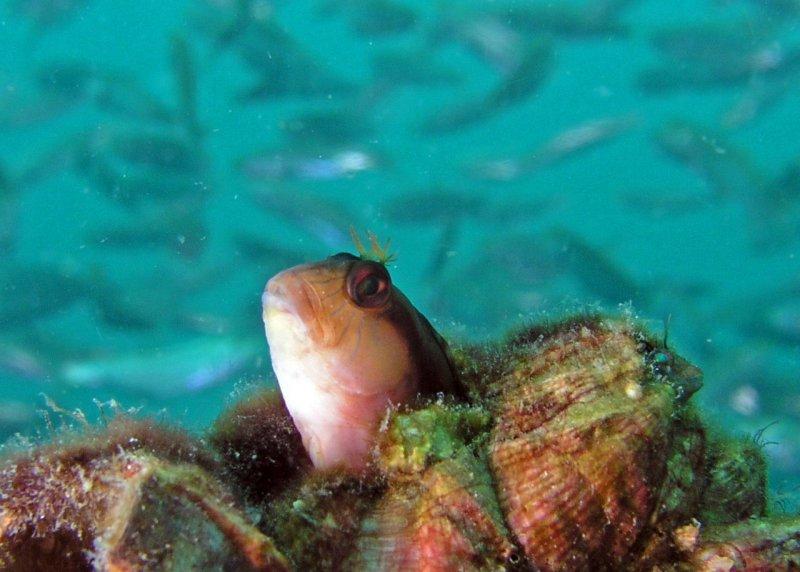 Seawead Blenny