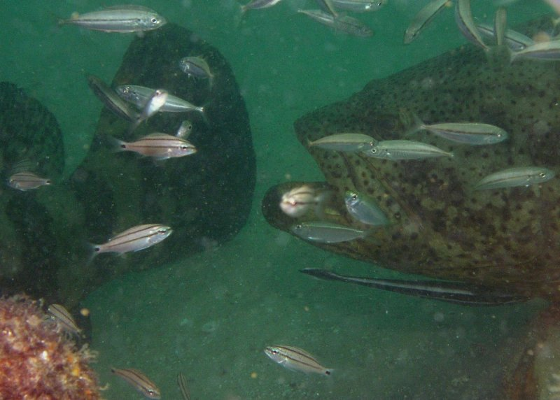 Goliath Groupers--nose to tail