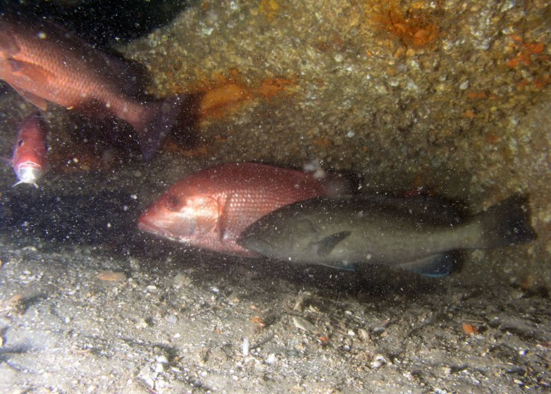 Snappers and Gag Grouper