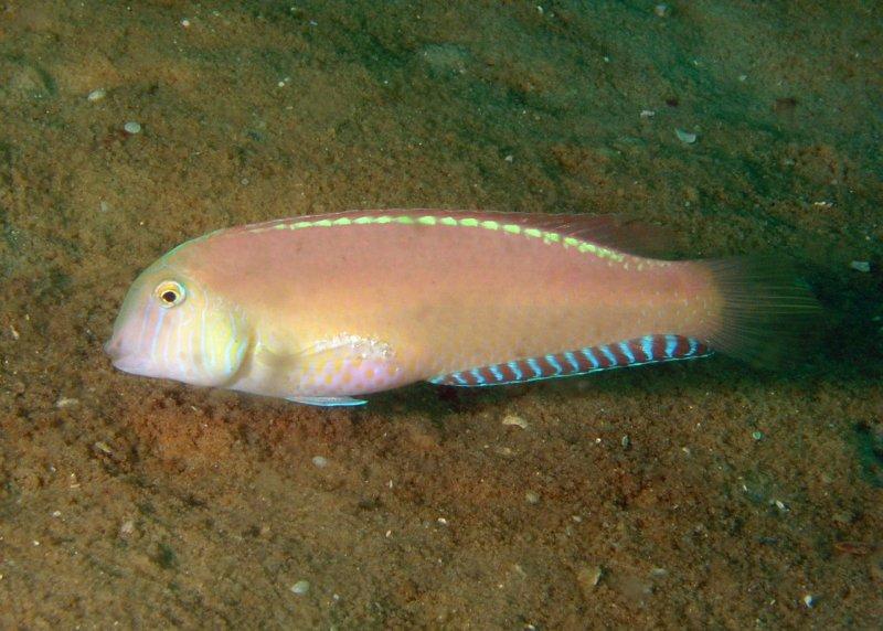Pearly Razorfish