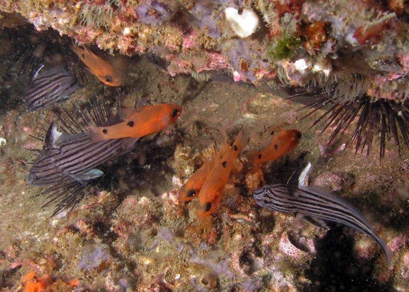 Cardinalfish and cubbyus