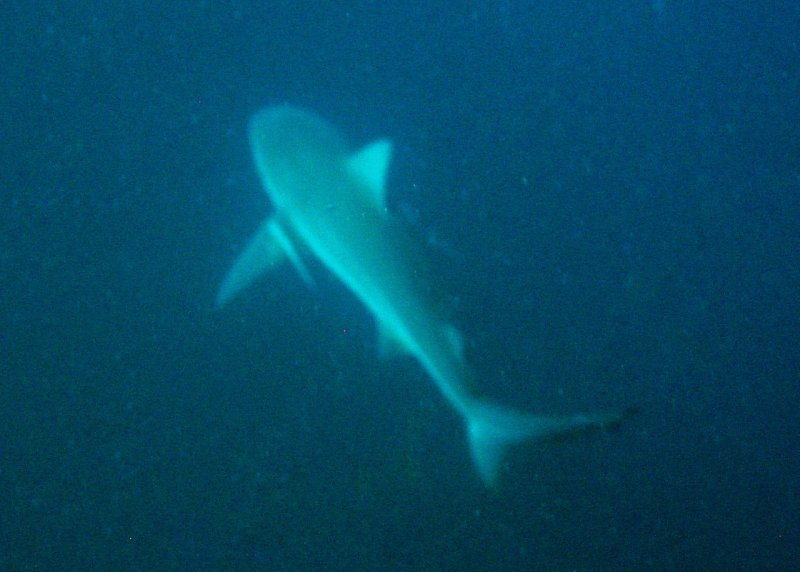 A curious Bull Shark