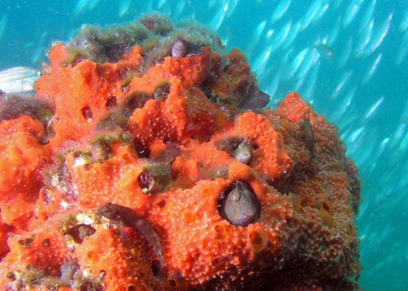 Colony of Seaweed Blennies