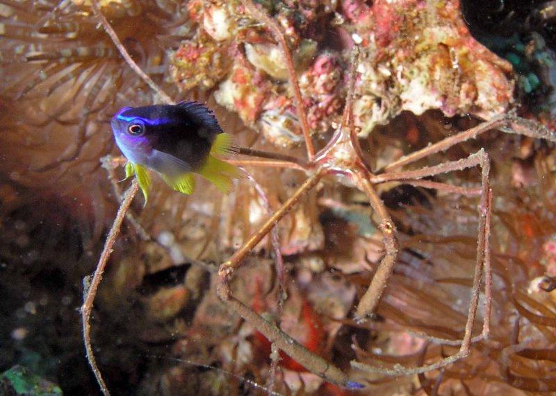 Yellowtail Reeffish juvenile