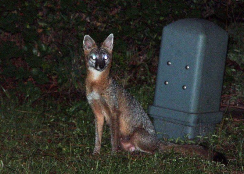 Young gray fox in my yard
