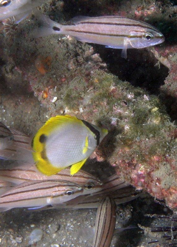 Spotfish Butterflyfish
