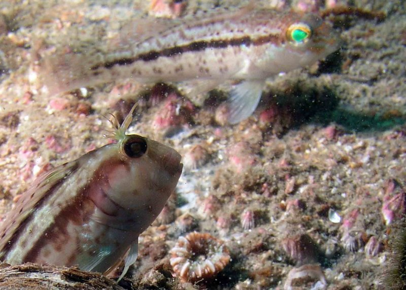 Blenny and Sea Bass