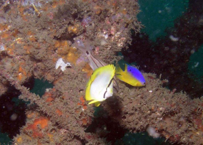 Spotfin Butterflyfish and Cocoa Damselfish