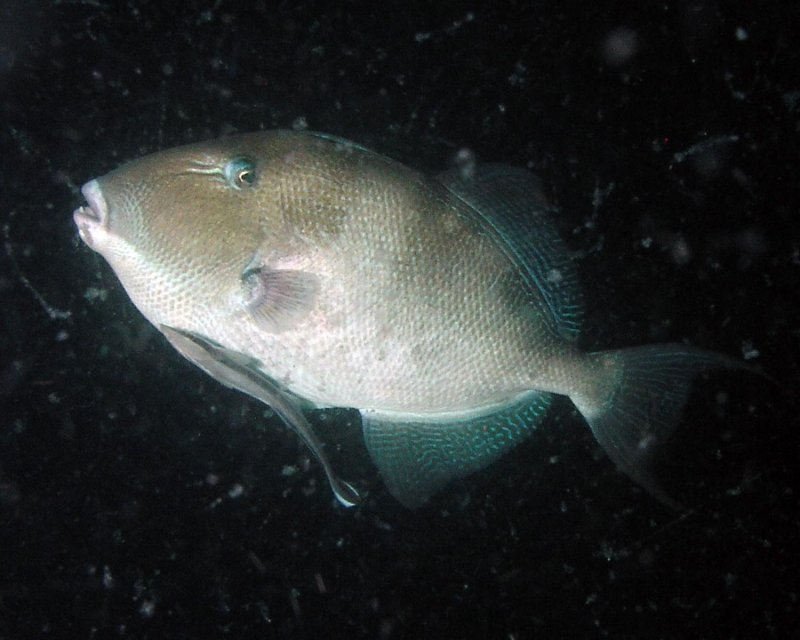 Triggerfish with remora