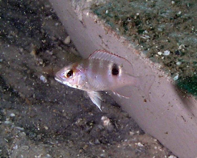 Juvenile Red Snapper
