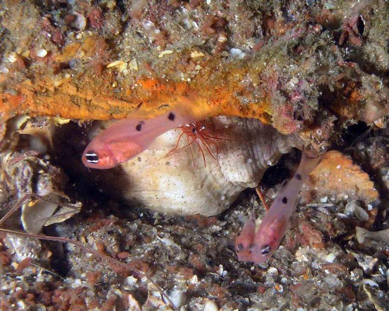 Two-spot Cardinalfish and Shrimp