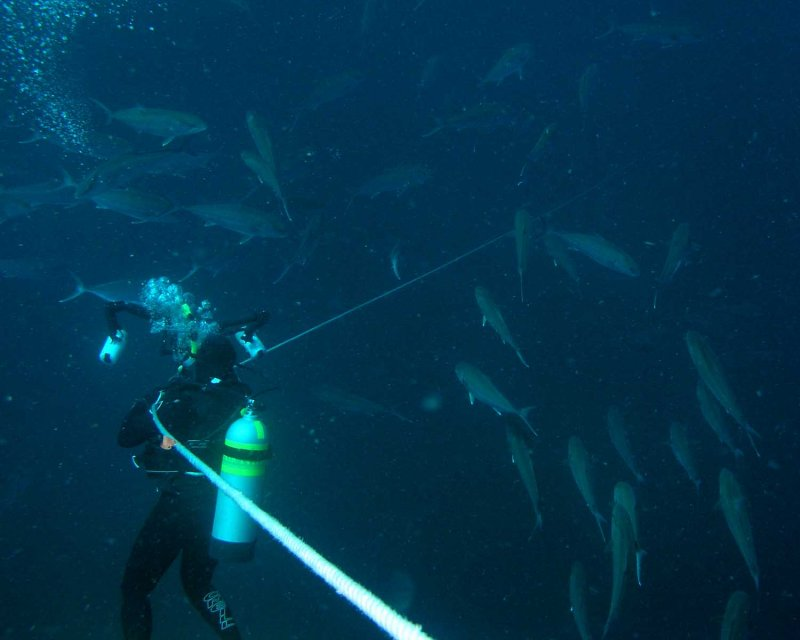 Bob surrounded by amberjacks