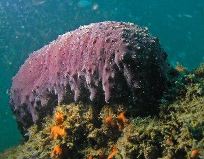 RB Sea Cucumber.jpg