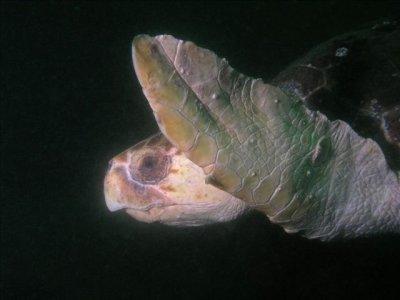 Large loggerhead turtle