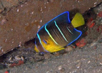Juvenile Blue Angelfish
