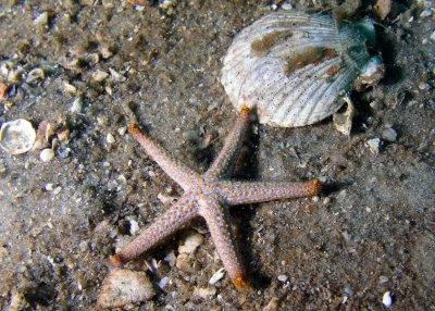 RF 7 Starfish