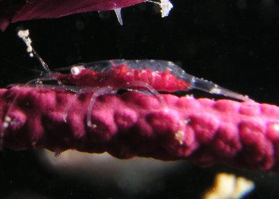 Neopontonides chacei