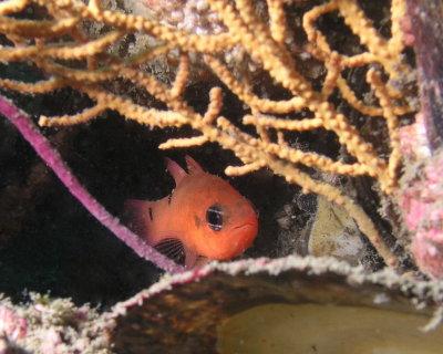 Two-spot Cardinalfish