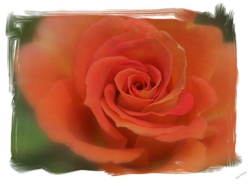 Patio Rose