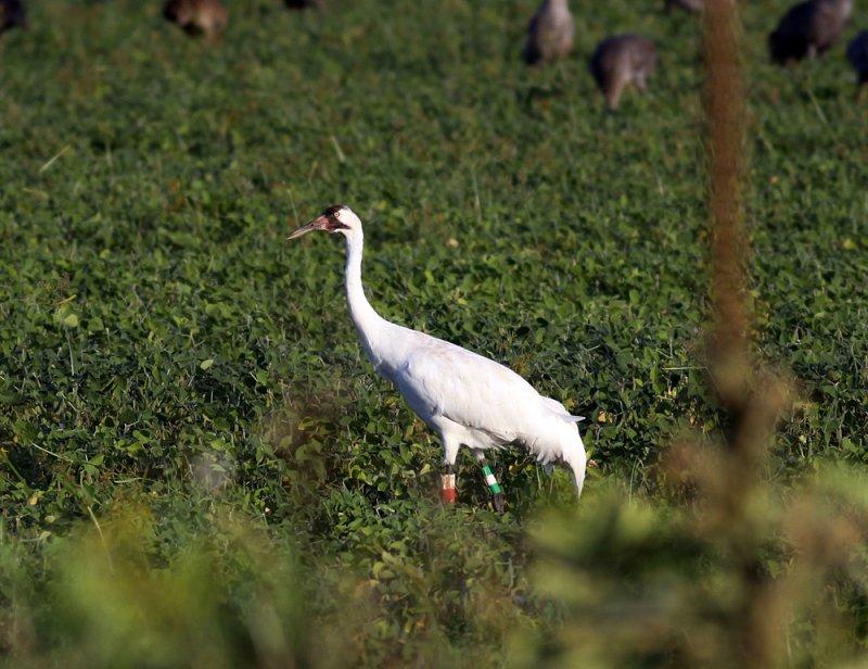 Mature whooping crane